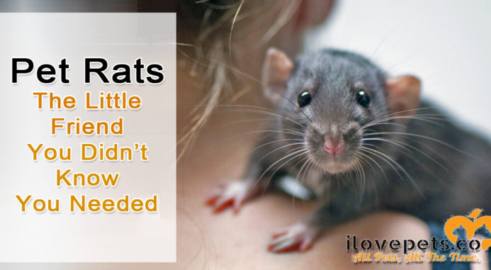 Pet Rats – The Little Friend You Didn't Know You Needed
