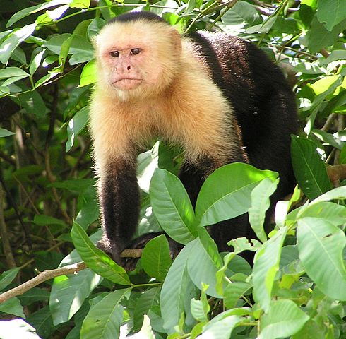 A capuchin monkey in Costa Rica.
