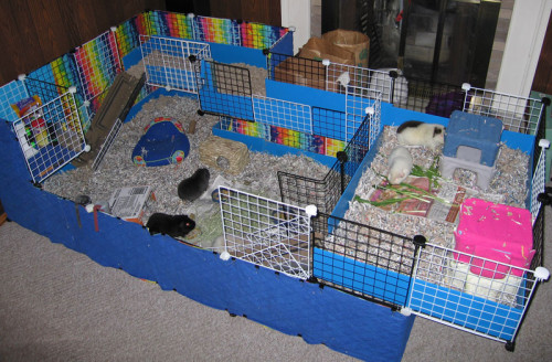 Housing-guinea-pigs-as-pets