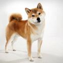 Shiba Inu: Ultimate Information On Keeping Shiba Dog Breed As Pets