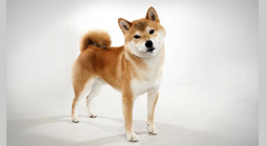 Shiba Inu: Ultimate Information On Keeping Shiba Dog Breed As Pets