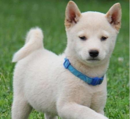 Shiba Inu Ultimate Information On Keeping Shiba Dog Breed