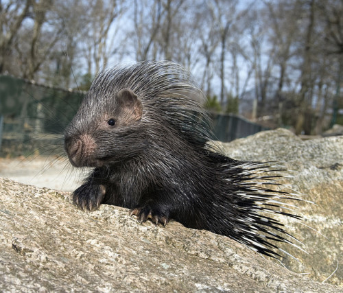 african-porcupine