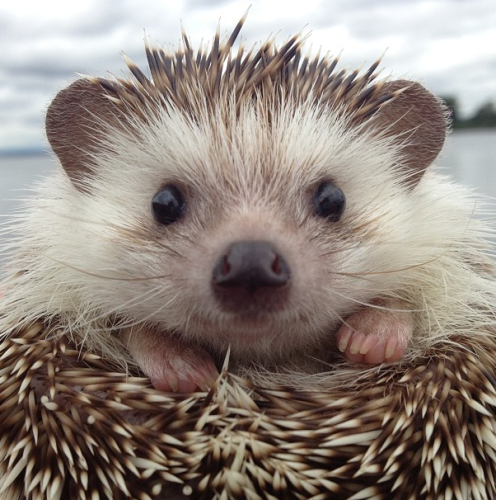 biddy-the-hedgehog
