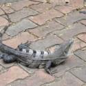 Black Spiny Tailed Iguanas As Pets
