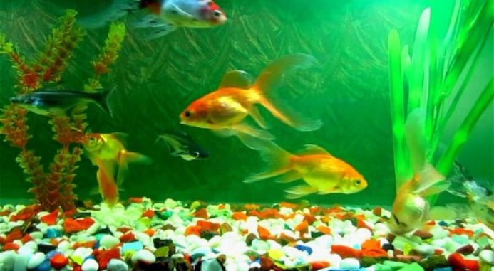 Fungal Infection In Fish: The Causes And The Remedies