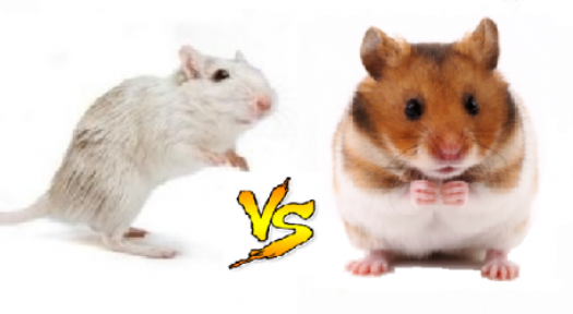 What Are The Differences Between A Gerbil And A Hamster?