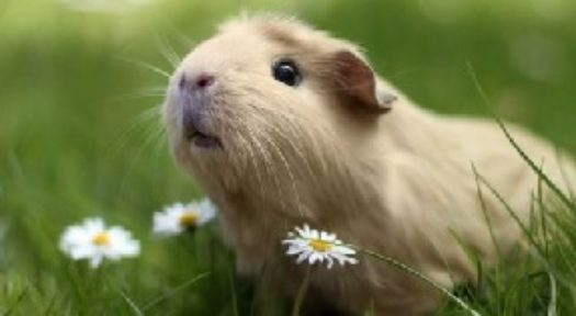 Guinea Pigs As Pets: The Scoop On Keeping Pet Guinea Pigs