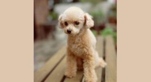 Why Hypoallergenic Small Dogs Are Best For Allergy Sufferers?