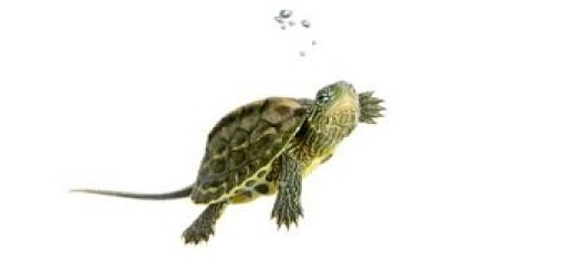 Turtles As Pets: Facts And Resources On Keeping Pet Turtles.