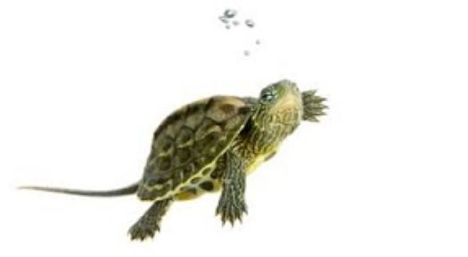 Turtles As Pets: Facts And Resources On Keeping Pet Turtles