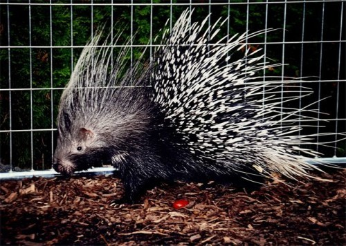 porcupine-in-a-cage