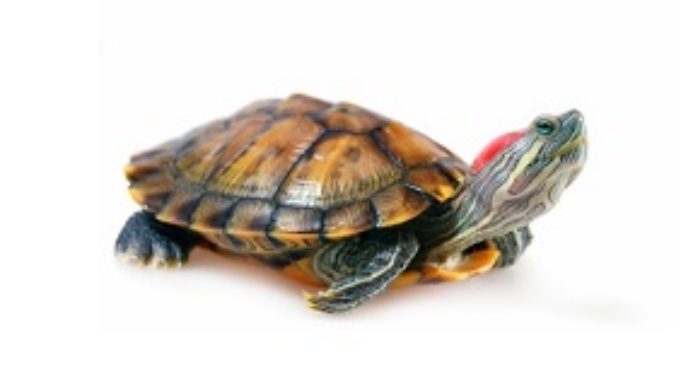 4 Things to Consider Before Buying A Red-Eared Slider