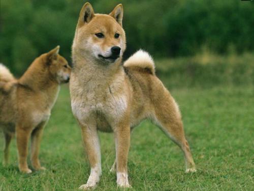 shiba-inu-breeds-photo