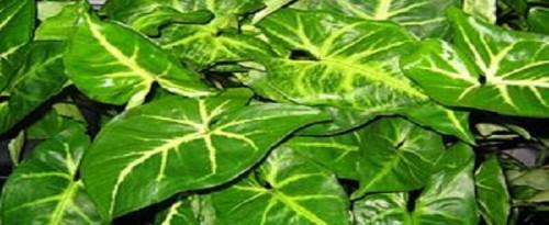african-evergreen2