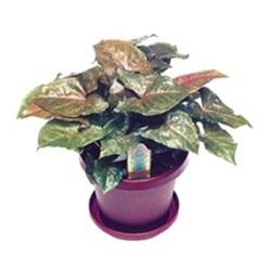 african-evergreen7