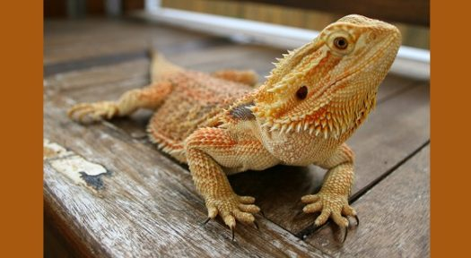 The Central Bearded Dragons As Pets