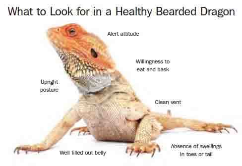 bearded-dragon-image1