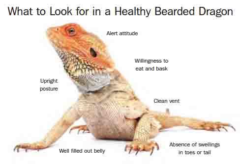 bearded-dragon-image1