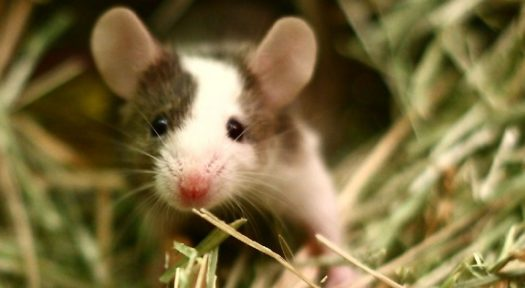 Mice As Pets: Things you need to know to keep pet mice