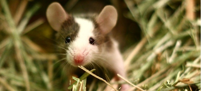Image result for mouse animal