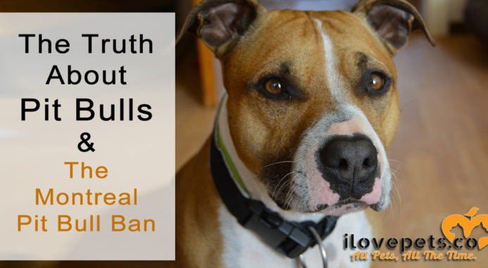 The Truth About Pit Bulls And The Montreal Pit Bull Ban