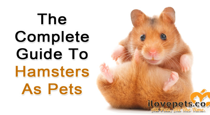 the complete guide to hamsters as pets i love pets