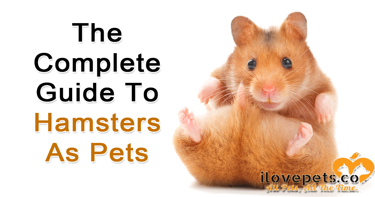 The complete guide to hamsters as pets - what to feed, where to buy a hamster, bite prevention and training