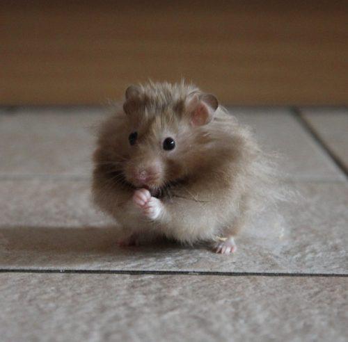 longhaired-hamster