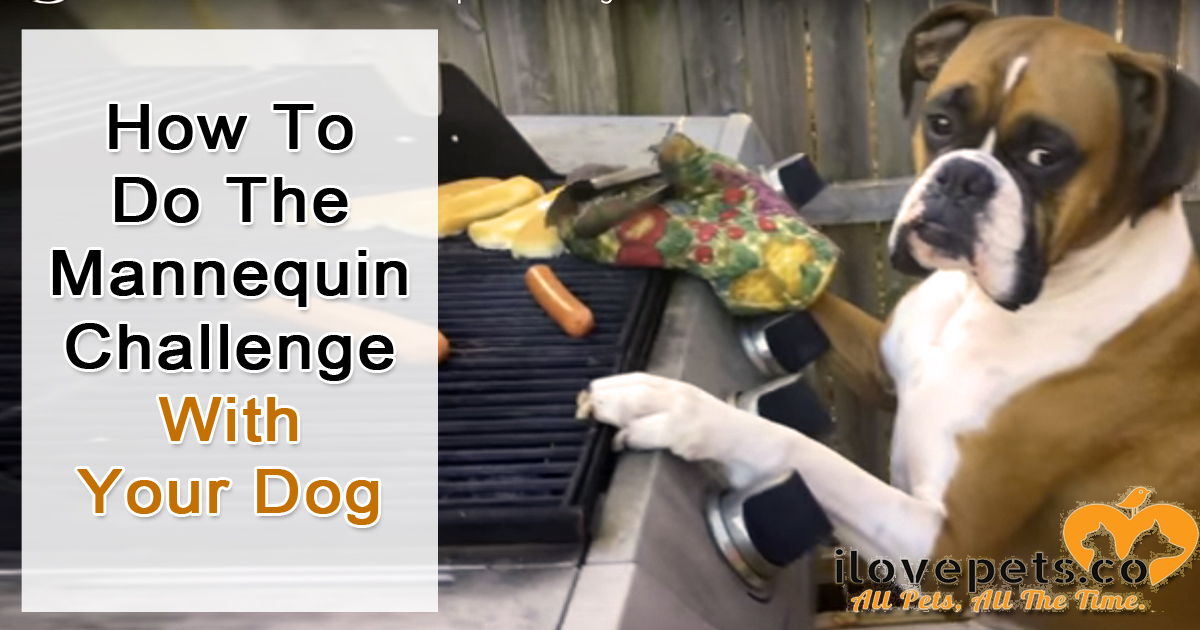 Learn how to make a mannequin challenge video with your dog