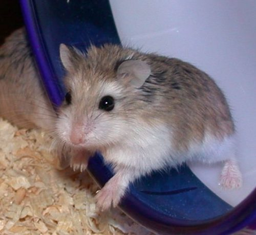 The Complete Guide To Hamsters As Pets | I Love Pets