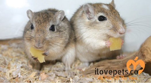 Can Gerbils Eat Salt? Feeding Guide For Pet Gerbils