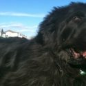 Keeping Newfoundland Dogs As Pets.