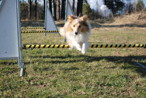Teach your dog to jump over obstacles