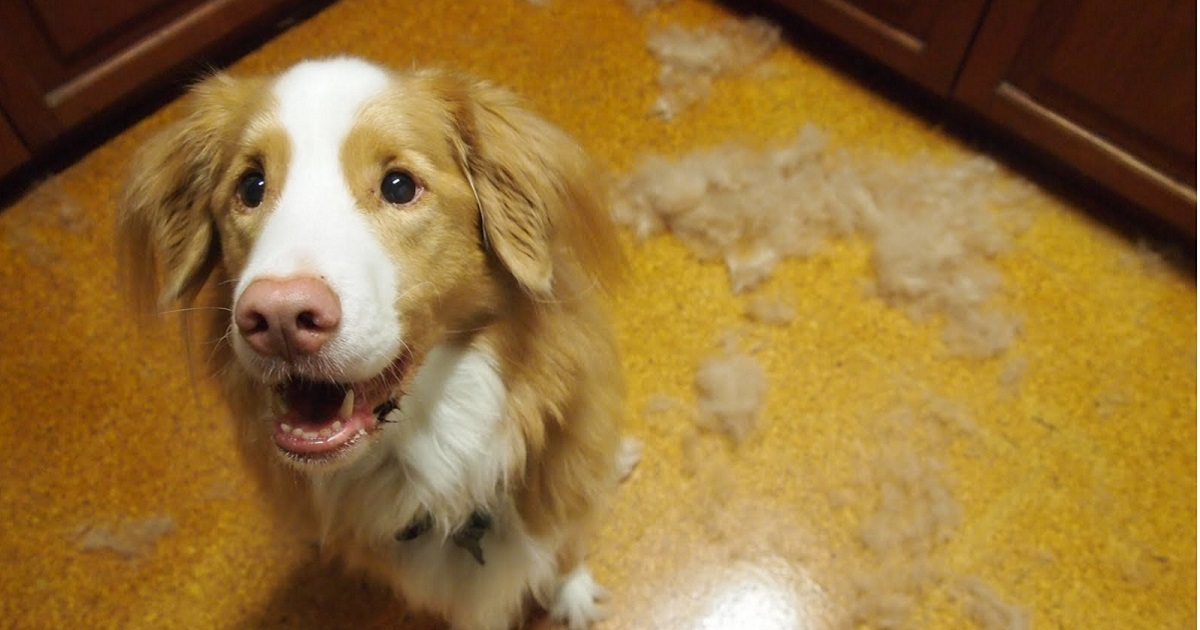 Why Do Dogs Shed Hair And How To Prevent Excessive