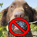 Grape and Raisin Poisoning in Dogs. Sweets can be bitter!