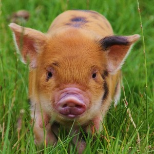 how to take care of a teacup pig