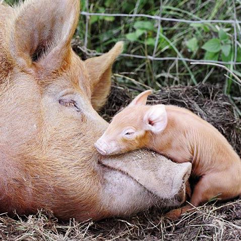 Farm pigs.