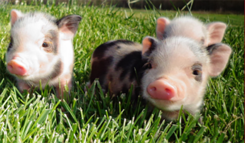 Miniature pigs, mini pigs, domesticated pigs.