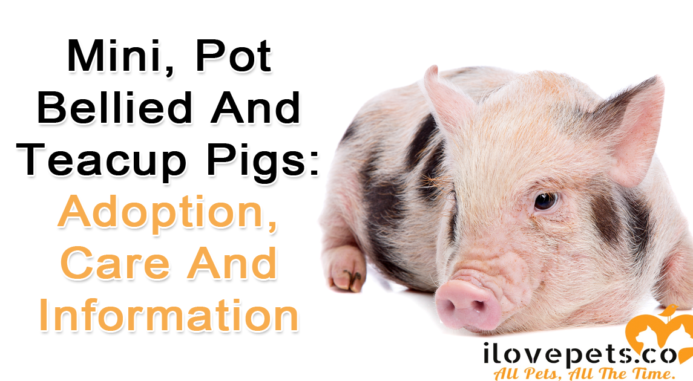 Mini, Pot Bellied And Teacup Pigs: Adoption, Care And Information