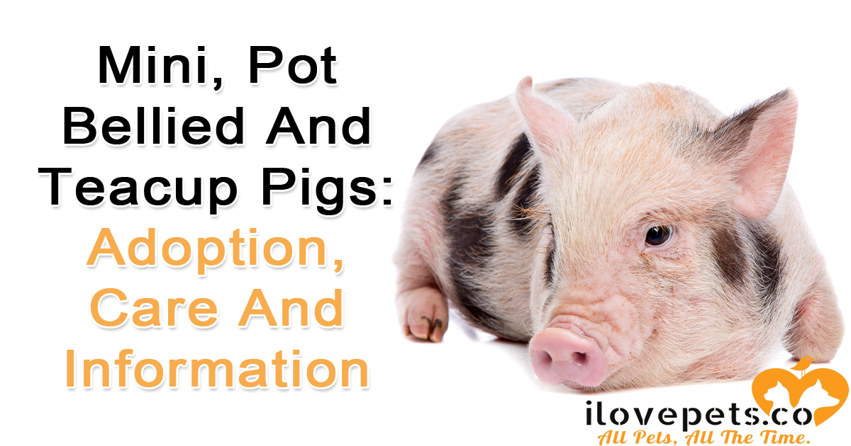 What you should know before adopting mini potbellied teacup pigs