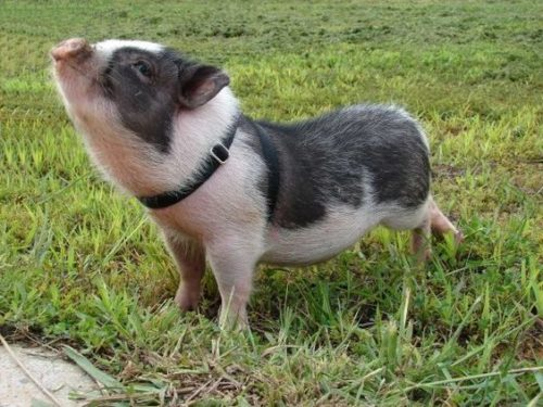 Potbelly pig.