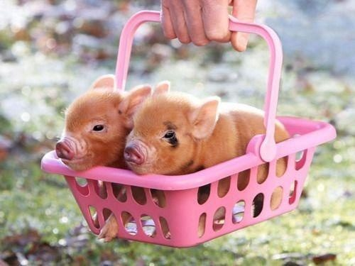 Teacup pigs are like unicorns.