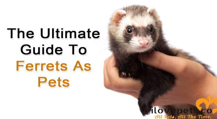 The Ultimate Guide To Ferrets As Pets