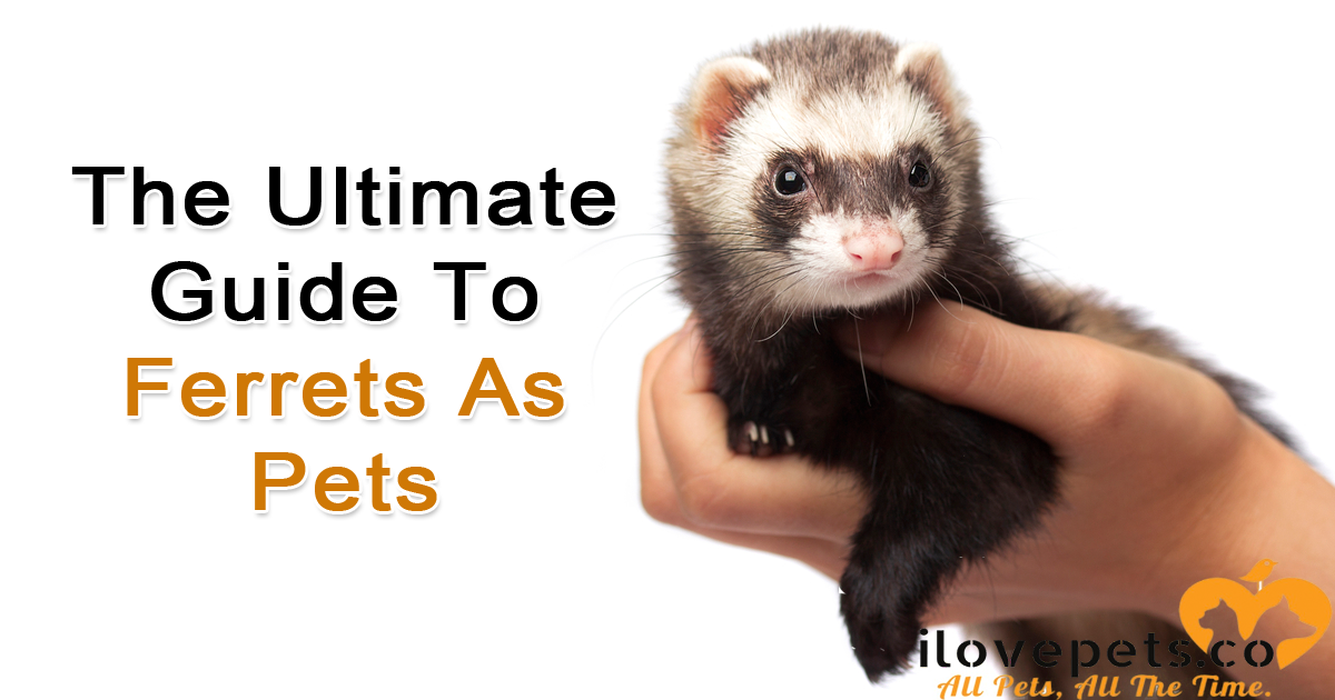 Ferrets As Pets: Care, Feeding and Fun Facts