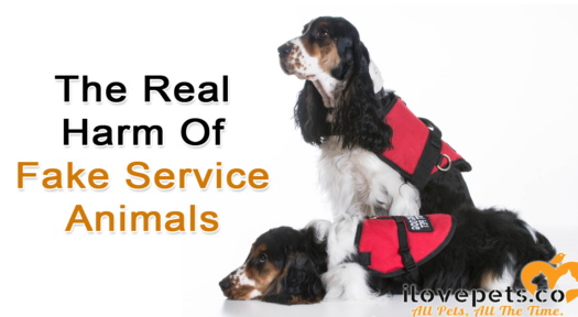 The Real Harm Of Fake Service Animals