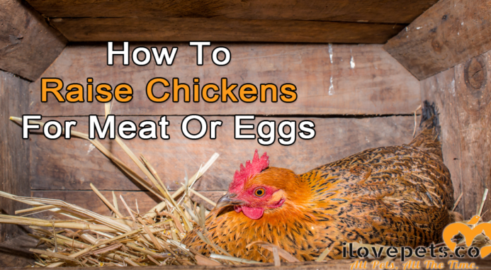 How To Start Raising Chickens For Meat Or For Eggs