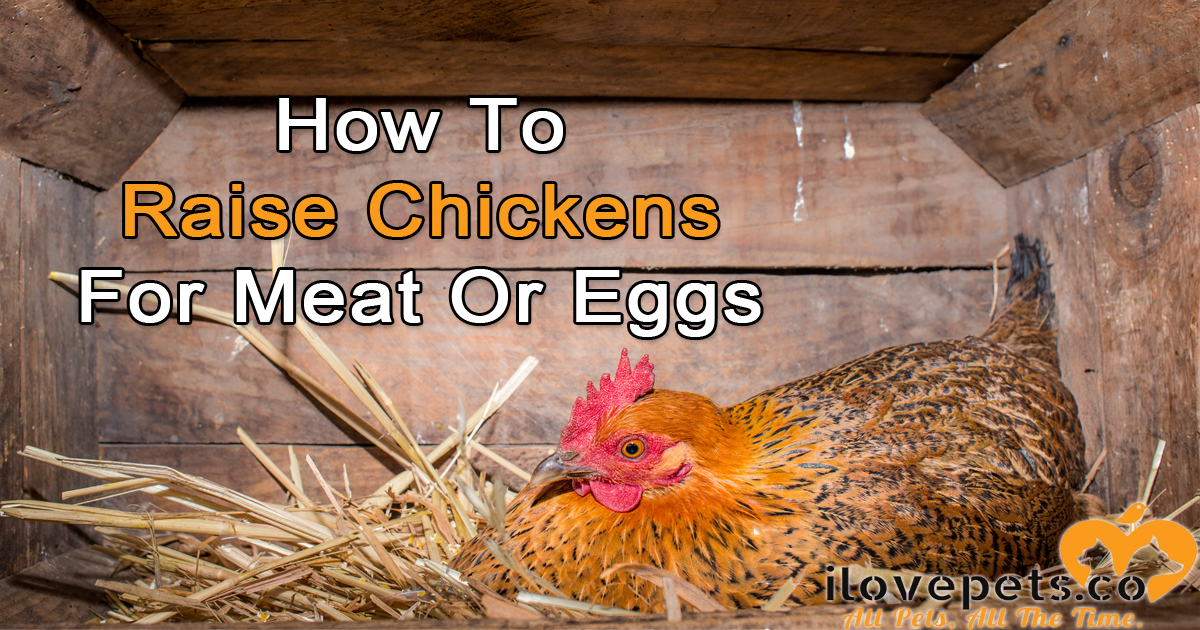 How To Raise Chickens For Meat or For Eggs
