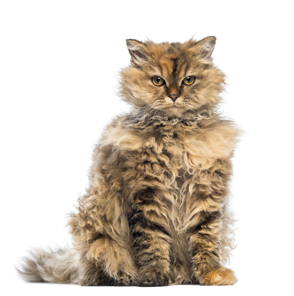 All About Rex Cat Breeds
