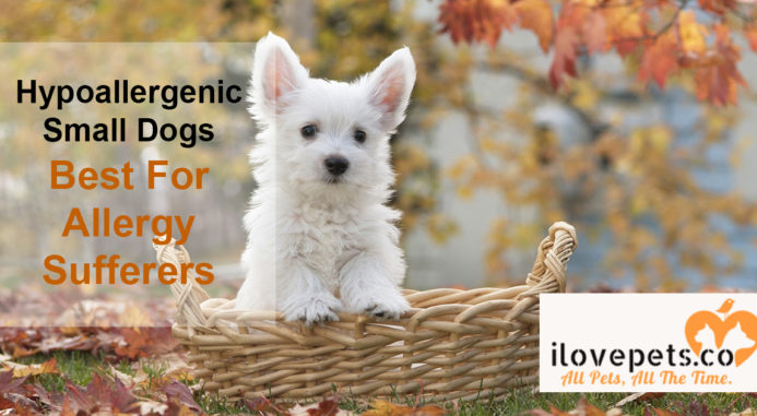 Why Hypoallergenic Small Dogs Are Best For Allergy Sufferers